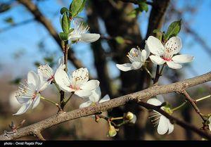 عکس/ شکوفه های بهاری رودسر