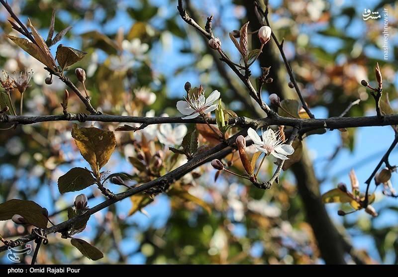 شکوفه های بهاری رودسر