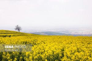 عکس/ مزارع کلزا در مازندران