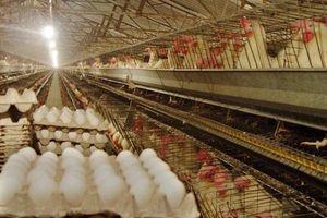 ضرر تولید کنندگان از بازار مرغ