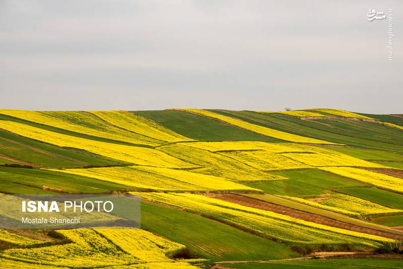 مزارع کلزا، شرق مازندران