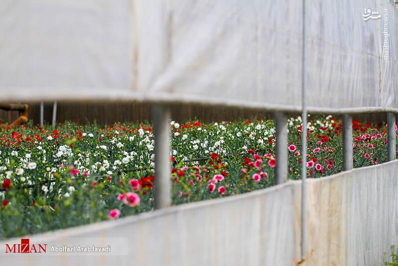 پرورش گل در پاکدشت ورامین