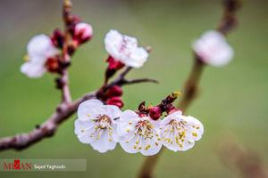 عکس/ شکوفه های بهاری در اردبیل