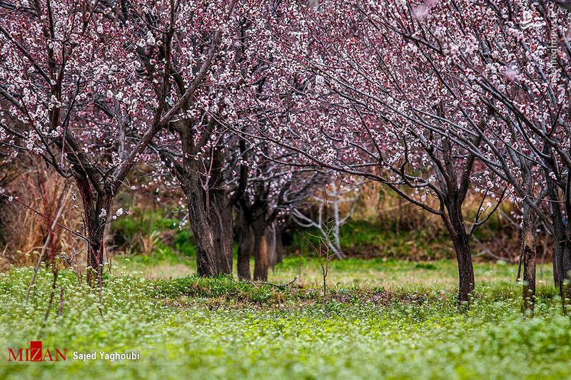 شکوفه های بهاری در اردبیل