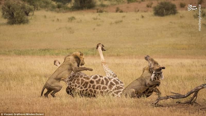 تصاویری جالب از شکار زرافه توسط شیر
