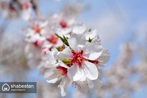عکس/ شکوفه های بهاری