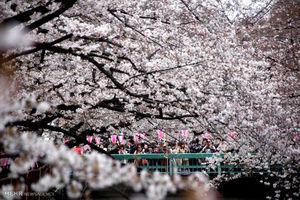 عکس/ تماشای شکوفه های گیلاس در ژاپن