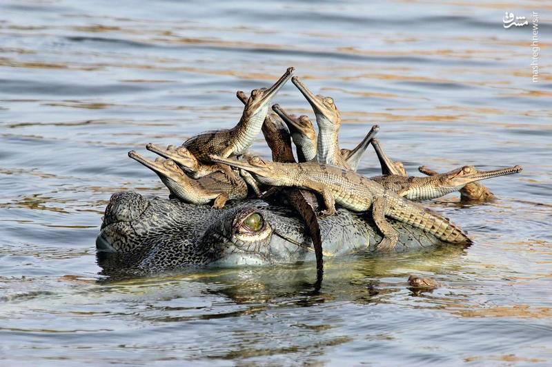 سواری بچه تمساح ها-عکس: Udayan Rao Pawar