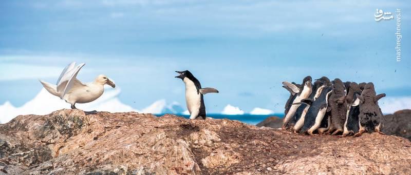 پنگوئن شجاع-عکس: Linc Gasking
