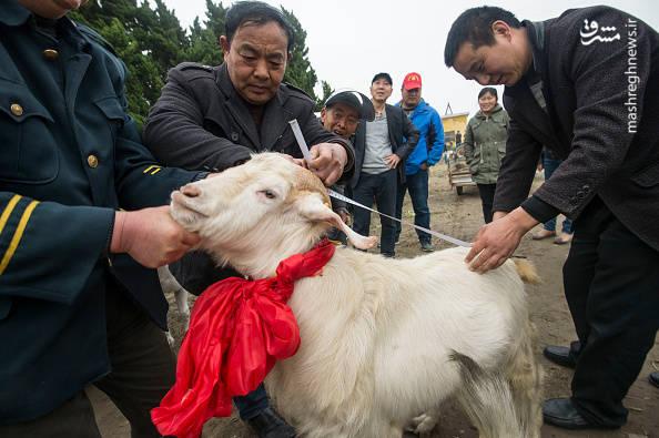 مسابقه انتخاب پادشاه بزها در چین