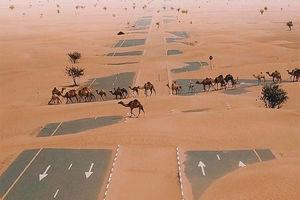 عکس/ عبور شترها از بزرگراهی در صحرای امارات