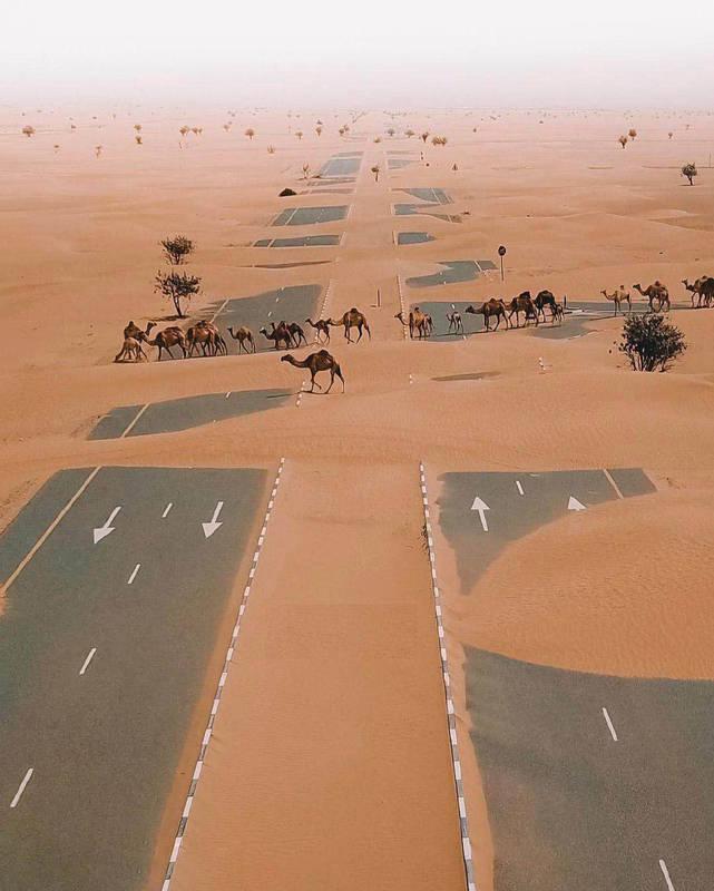 عبور شترها از بزرگراهی در صحرای امارات