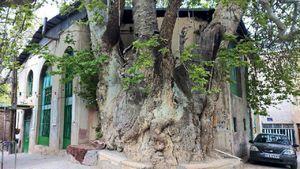 عکس/ درخت چنار ١٥٠٠ساله در قم