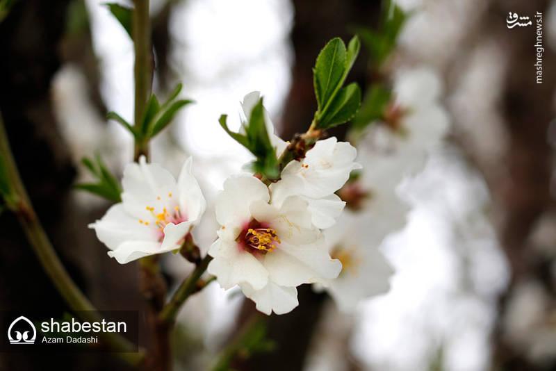 شکوفه های بهاری الموت قزوین