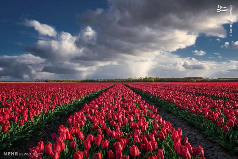 مزارع گل در هلند