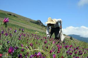 عکس/ برداشت گیاه دارویی گل گاوزبان در آستارا