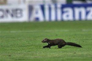 شکایت العین از سمور ورزشگاه آزادی!