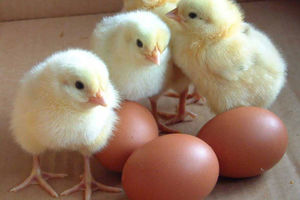 فیلم دردناک از کشتار جوجههای نر در صنعت تخم مرغ