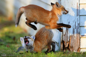 عکس/ روباههای بازیگوش