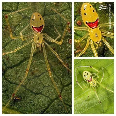 عنکبوت خندان