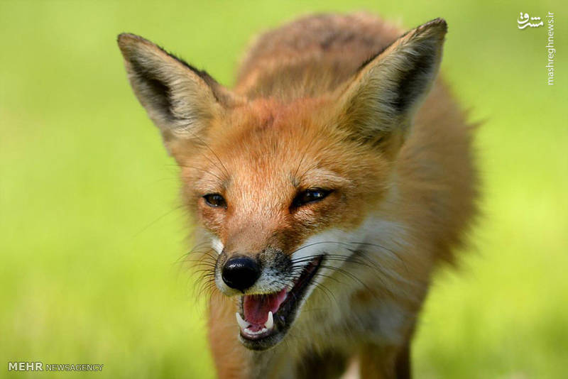 روباه های بازیگوش