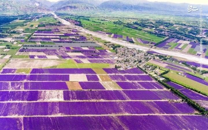 مزارع اسطوخودوس در منطقه خودمختار ایغور چین