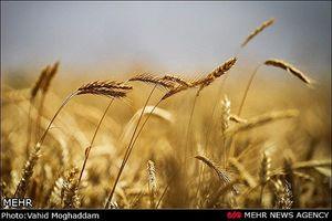 افزایش تولید گندم کشور با وجود سیل