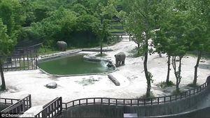 فیلم حیرتآور نجات جان بچه فیل توسط پدر و مادرش
