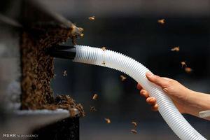 عکس/ پاکسازی میدان تایمز نیویورک از زنبورها