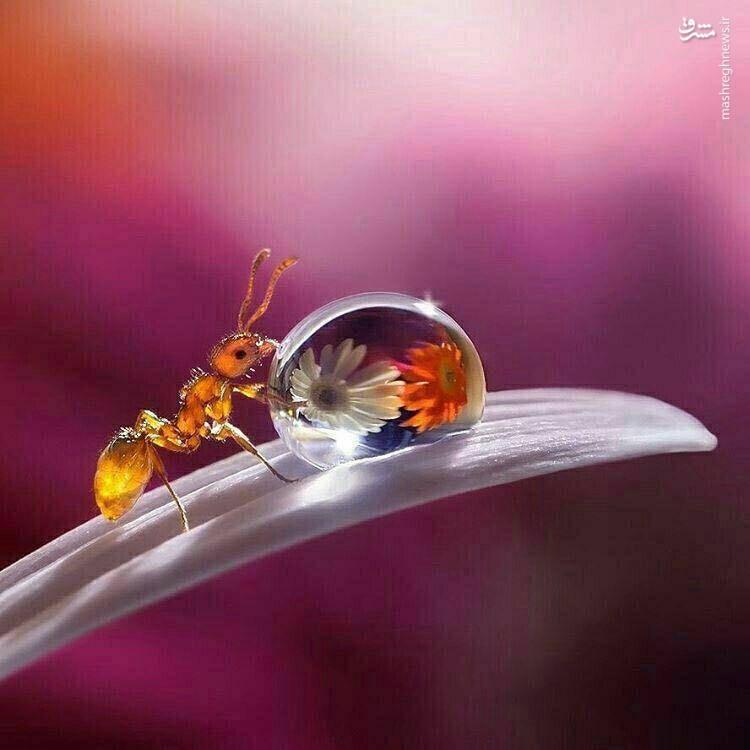 خوردن محجبه آب خوردن مورچه/ عکس