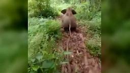فیلم/ بازیگوشیهای دیدنی یک بچه فیل!