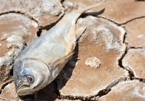 جمعآوری 100000بچه ماهی از بستر خشکیده هامون