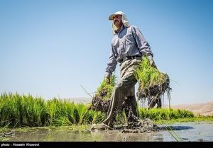 عکس/ کشت برنج در سایه خشکسالی فارس