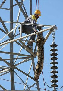 عکس/ گرفتار شدن یوز آسیایی روی دکل برق