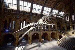 رونمایی از اسکلت نهنگ