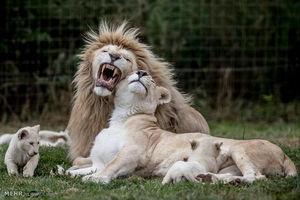 خانواده شیرها این تصاویر زیبا از خانواده شیرها در باغ وحشی در جمهوری چک گرفته شده است. این خانواده ۱۰ هفته پیش صاحب ۵ قلو شده است.