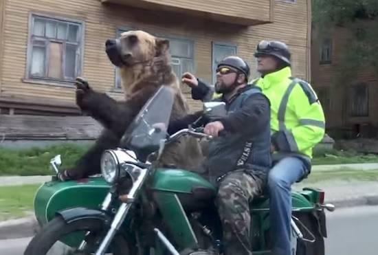 فیلم/ موتور سواری خرس قهوه ای