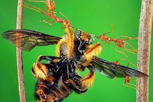 عکس/ قدرت خارقالعاده فک دهان یک مورچه!
