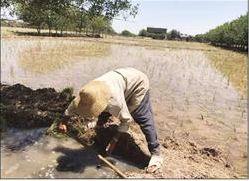 برنج تهرانکنار، کیلویی 13 هزار تومان