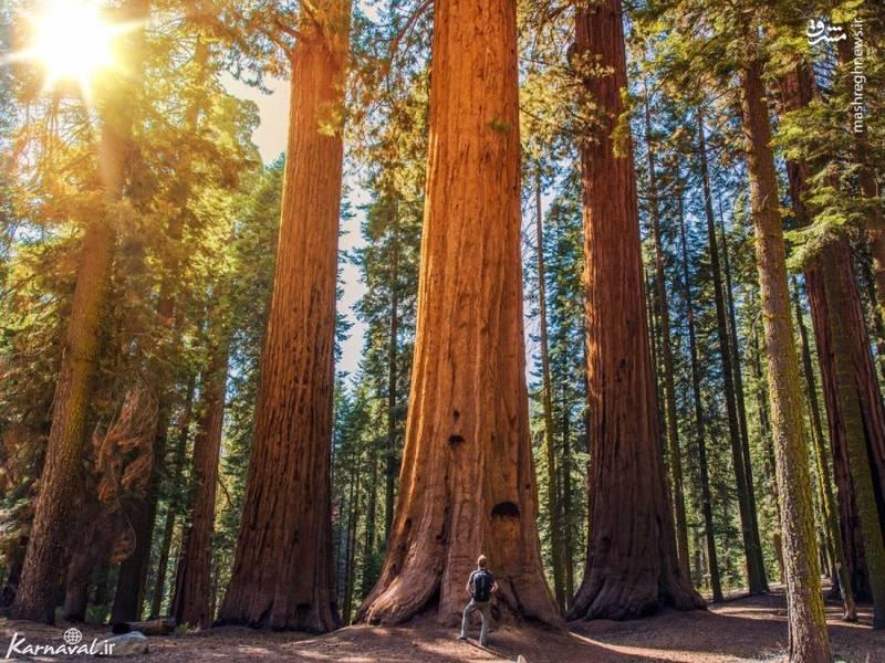 پارک ملی سکویا | کالیفرنیا/ درخت های چوب قرمز معروف کالیفرنیای شمالی را می توانید در پارک ملی سکویا بیابید. در این منطقه بیش از ۸ هزار درخت غول (Sequoiadendron giganteum) وجود دارد؛ این نوع درخت ها دارای طولانی ترین عمر، در میان درختان هستند.