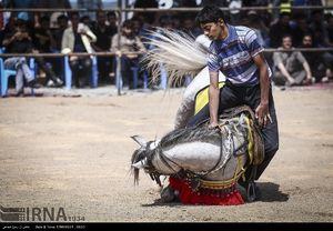 جشنواره حرکات نمایشی و زیبایی اسب اصیل