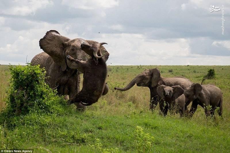 عکس/ درگیری دو سنگین وزن، بوفالو، فیل، درگیری بوفالو و فیل