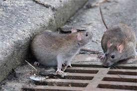 موشها دختر فرانسوی را در خواب جویدند!
