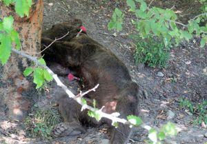 تیر خلاص مسئولان محیط زیست بر قلب خرس پارک ملی گلستان