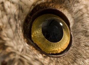 عکس/ نمایی نزدیک از چشم جغد