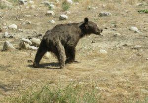 کشتن خرس