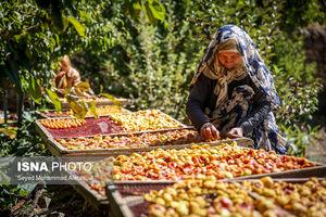 عکس/ برداشت آلو از باغات «پیوهژن»