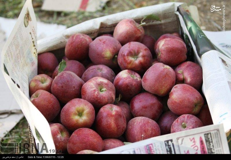باغ های سیب در کهگیلویه و بویراحمد