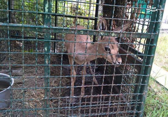 جان دادن برهآهو در قفس اداره پارک ملیگلستان