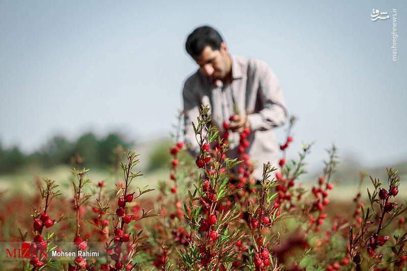 مزرعه چای ترش در گناباد